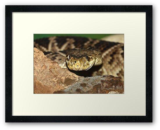 Rattle Snake by neil harrison