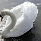 Beautiful Swan by martin bullimore