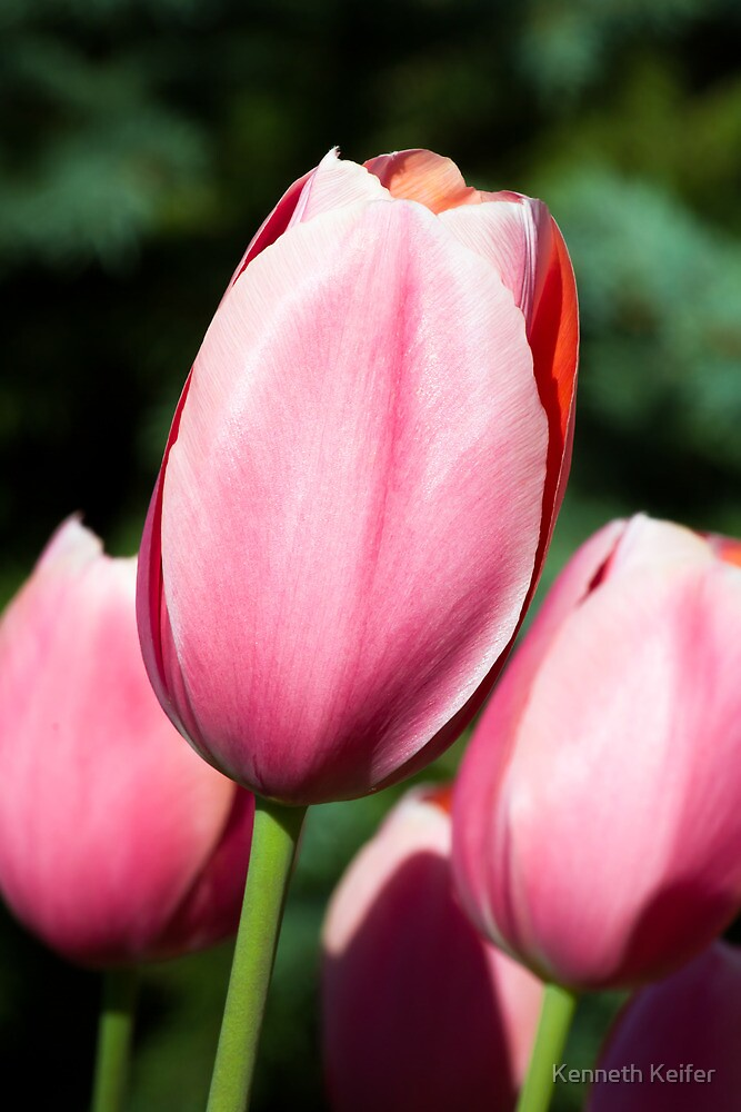 Pink Tulips with Whtie and Salmon Accents by Kenneth Keifer