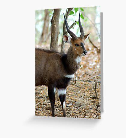 YEAH, I KNOW I AM GORGEOUS! THE BUSHBUCK MALE - Tragelaphus scriptus - Bosbok Greeting Card
