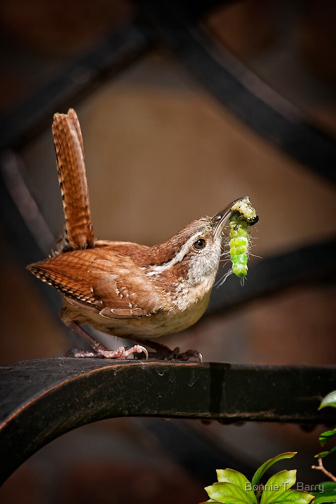 Carolina Wren with Fresh Food for Babies by Bonnie T.  Barry