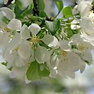 White Blossoms by Christian  Bennion