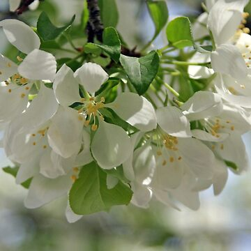 White Blossoms by Bennebula