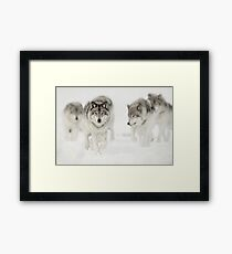 Timber Wolf Pack Framed Print