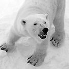 Mother Polar Bear by SunDwn