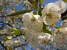 cherry blossom by shireengol