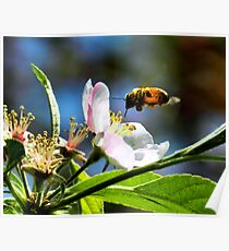 Apple Blossom & Honey Bee Poster