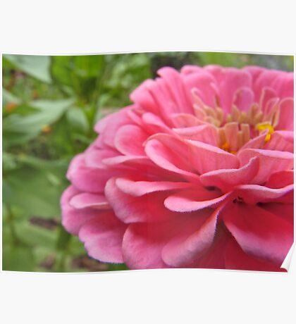 Zinnia Layers Poster