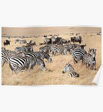 Zebra & Wildebeest Migration Poster