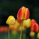 Another tulip for you by Peter Dickinson