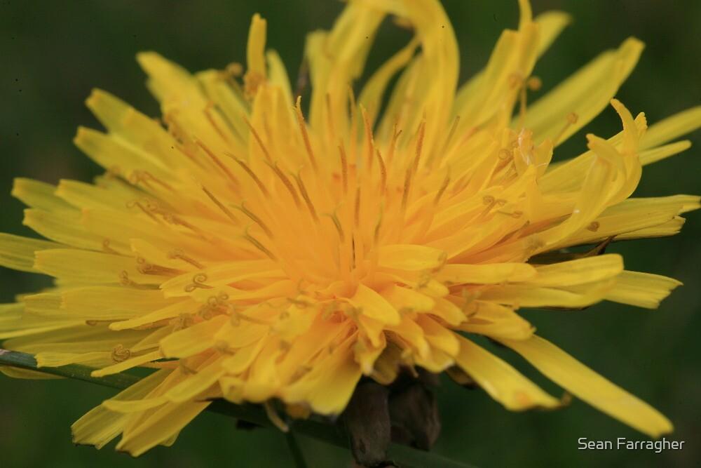 Yellow Flame by Sean Farragher