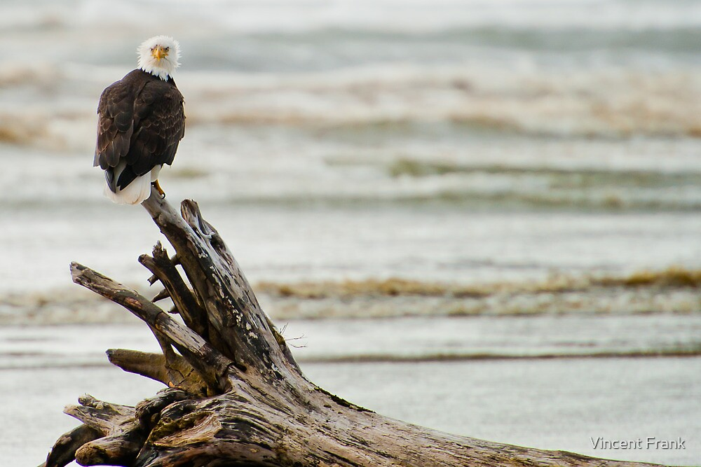 Bald Eagle Perched In The Ocean Breeze - Ocean Shores by Vincent Frank