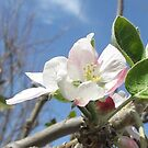 Apple Tree Blossom by SizzleandZoom