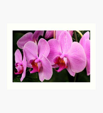 Moth Orchid 27 Art Print