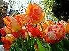 Parrot Tulips in Philadelphia by MotherNature