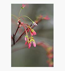 Maple Seeds Photographic Print