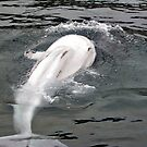 Beluga Splash, Mystic, Connecticut by Jane Neill-Hancock