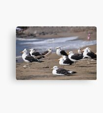 seagulls in papudo Canvas Print