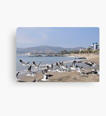 Seagulls at Papudo Canvas Print