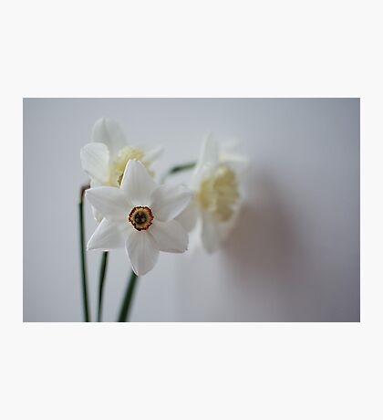 snow white daffodils Photographic Print