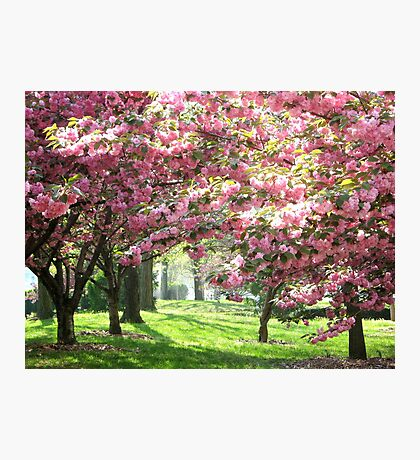 Cherry Blossoms, New York City Photographic Print