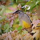 Red Wattle Bird by Dilshara Hill