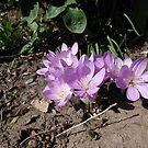 Purple crocus by Aurora