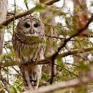 """Barred Owl - """"Pleased to Meet Whoo"""" by Benjamin Brauer"""