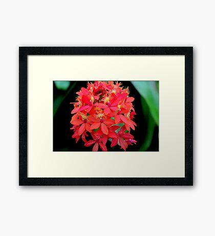 Orchid Cluster Framed Print