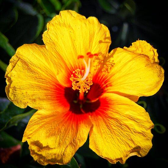 hawaiian state flower pua aloalo hibiscus brackenridgei