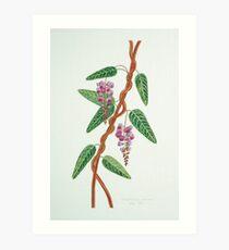 Native Lilac, Hardenbergia violacea  1998 Art Print