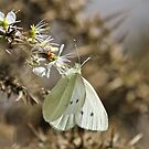 Small White Butterfly by dilouise