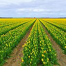 YELLOW TULIP FIELD by Johan  Nijenhuis