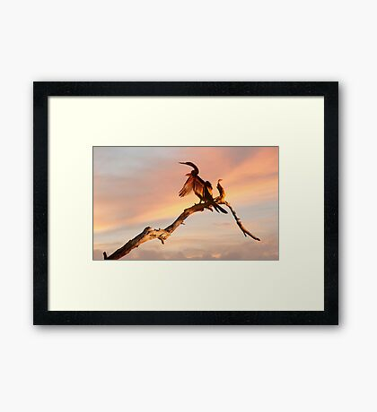 Drying Off - shag at Mareeba wetlands Framed Print