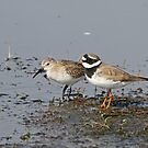 Ringed Plover And Dunlin by Robert Abraham