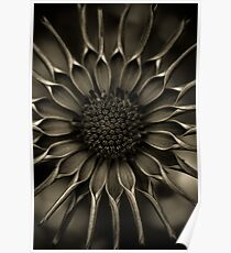 African Daisy in monochrome Poster