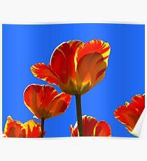 Electric Orange & Yellow Tulips Poster