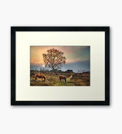 New Forest Ponies Framed Print