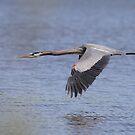 Great  Blue Heron in flight by Gregg Williams
