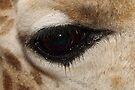 Ungulate Eye: the Eye of a Rothschild's Giraffe  by Carole-Anne
