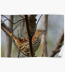 Brown Thrasher Poster