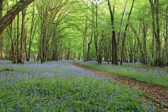 Bluebell Woods by SpiralSkies