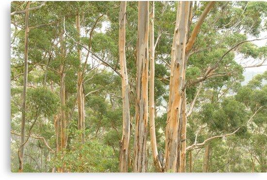 Karri Trees at Harington Break by pennyswork