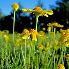 Butterfly Daisies in a Wildflower Field - Texas, USA by aprilann
