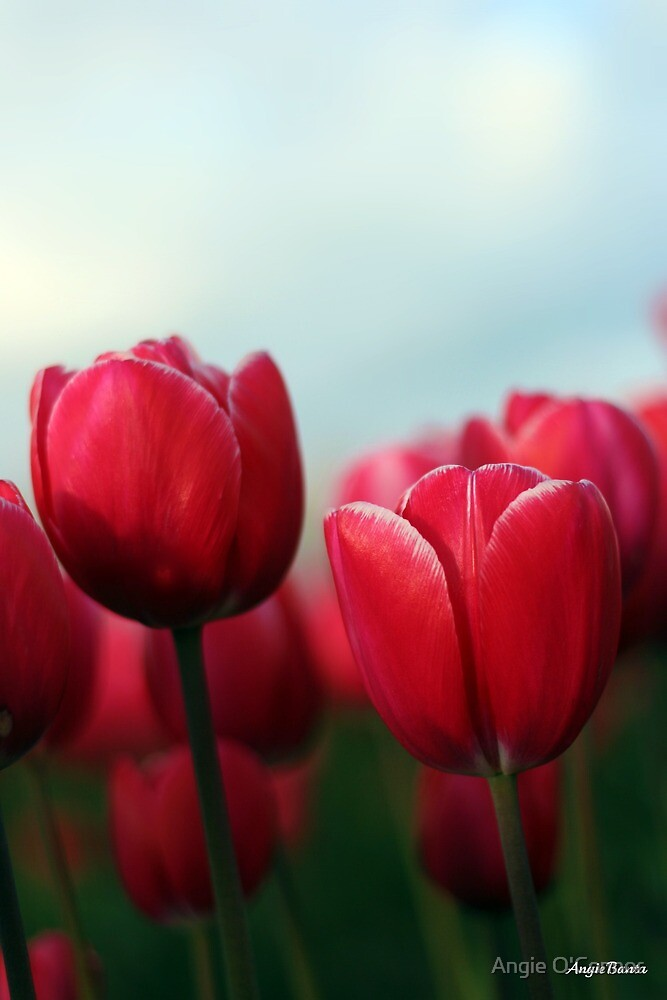Tulips by Angie O'Connor