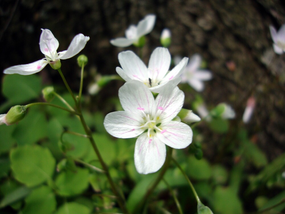 Wild Geraniums by emilycolors