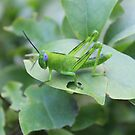 Grasshopper by AHakir
