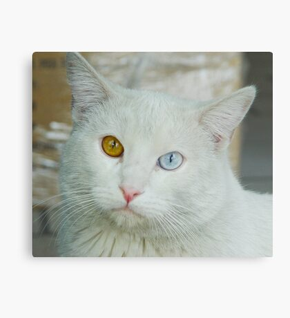 Blue-Brown Eyed Cat Metal Print