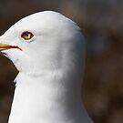 I C Ring-billed Gull by DigitallyStill
