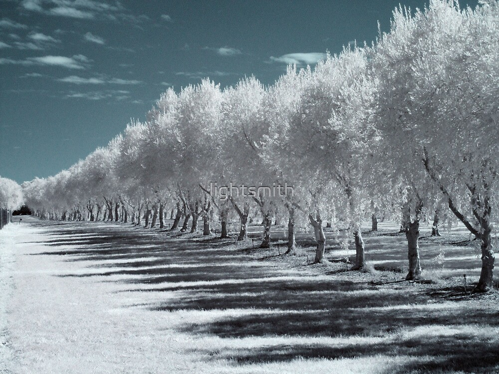 Olive Trees by lightsmith
